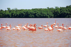 Caribbean Flamingo in Yucatan Stock Image