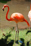 Caribbean Flamingo in Yucatan Stock Photos