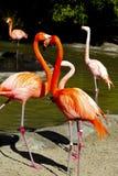 Caribbean Flamingos Stock Photos