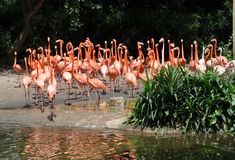 Caribbean flamingos Royalty Free Stock Image
