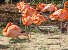 Caribbean Flamingos Stock Photo