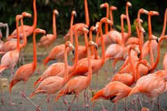 Caribbean flamingos. Close up of caribbean flamingos (Phoenicopterus ruber), selective focus royalty free stock photography