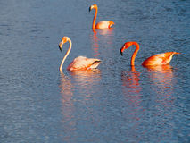 Caribbean Flamingos court on the Gotomeer, Bonaire, Dutch Antilles. Courting Caribbean Flamingos reflected in the Gotomeer, Bonaire, Dutch Antilles stock photography