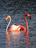 Caribbean Flamingos court on the Gotomeer, Bonaire, Dutch Antilles. Courting Caribbean Flamingos reflected in the Gotomeer, Bonaire, Dutch Antilles royalty free stock image