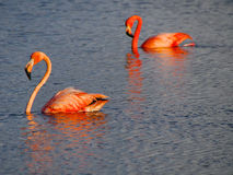 Caribbean Flamingos court on the Gotomeer, Bonaire, Dutch Antilles. Courting Caribbean Flamingos reflected in the Gotomeer, Bonaire, Dutch Antilles stock photos