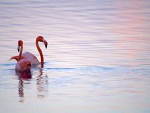 Caribbean Flamingos court on the Gotomeer, Bonaire, Dutch Antilles. Pair of courting Caribbean Flamingos reflected in pink water on the Gotomeer, Bonaire, Dutch stock photos