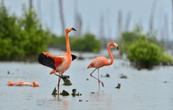 Caribbean flamingos ( Phoenicopterus ruber ) Royalty Free Stock Photo