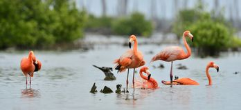 Caribbean flamingos ( Phoenicopterus ruber ) Stock Images