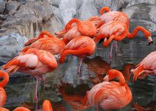 Caribbean Flamingos (Phoenicopterus ruber ruber) Royalty Free Stock Images