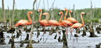 Caribbean flamingos (Phoenicopterus ruber ruber) Royalty Free Stock Photography