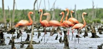 Caribbean flamingos (Phoenicopterus ruber ruber) Royalty Free Stock Photography