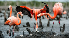 Caribbean flamingos Phoenicopterus ruber ruber on the nests Stock Photography