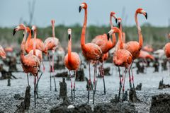 Caribbean flamingos  Phoenicopterus ruber ruber on the  nests Stock Image