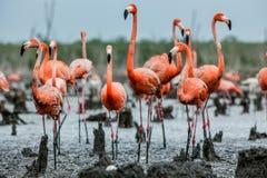 Caribbean flamingos  Phoenicopterus ruber ruber on the  nests. American Flamingos or Caribbean flamingos  Phoenicopterus ruber ruber. Colony of Flamingo on the Stock Image