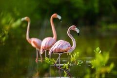 Caribbean flamingos ( Phoenicopterus ruber ruber ) Stock Photo