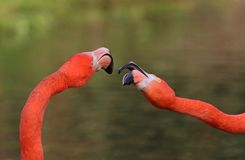 Caribbean Flamingo. S  at Slimbridge Wildfowl and Wetlands Trust Royalty Free Stock Photo