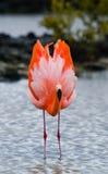 Caribbean flamingos standing in the lagoon. The Galapagos Islands. Birds. Ecuador. Royalty Free Stock Photography