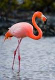 Caribbean flamingos standing in the lagoon. The Galapagos Islands. Birds. Ecuador. Royalty Free Stock Photos