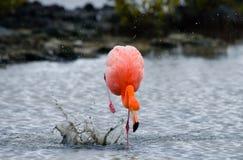 Caribbean flamingos standing in the lagoon. The Galapagos Islands. Birds. Ecuador. Stock Image
