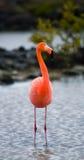 Caribbean flamingos standing in the lagoon. The Galapagos Islands. Birds. Ecuador. Stock Photography