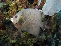 Caribbean french angelfish, roatan, honduras Stock Images