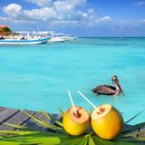 Caribbean fresh coconuts cocktail pelican swimming Stock Image