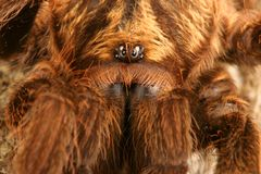 Caribbean Golden Grey Tarantula Stock Images