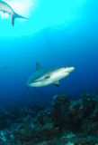 Caribbean gray reef shark Stock Photos