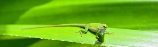 Caribbean Green Anole (Anolis Carolinensis) Lizard. On the green leaf background royalty free stock photo