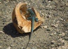 Caribbean green iguana. Royalty Free Stock Photos