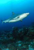 Caribbean Grey Reef Shark royalty free stock photo