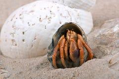 Caribbean Hermit Crab Coenobita clypeatus. Caribbean Hermit Crab on beach Stock Images