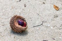Caribbean Hermit Crab on Sandy Beach. A Caribbean hermit crab with a purple claw hides tucked away in his shell on a sandy path on a tropical island Stock Photography