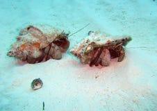 Caribbean Hermit Crabs Travel Across the Ocean Floor. Off the island of Utila, Honduras two large hermit crabs travel across the sandy ocean floor ensconced in royalty free stock image