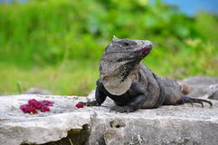 Caribbean Iguana, Mexico Royalty Free Stock Photos