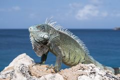 Iguana showing off on the edge of a cliff Stock Image