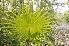 Caribbean jungle palm tree leaf Royalty Free Stock Photo