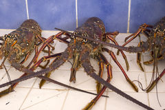 Caribbean Live Lobsters in a Sink Stock Images