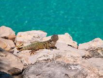 Caribbean lizard on the rocks of Varadero stock images