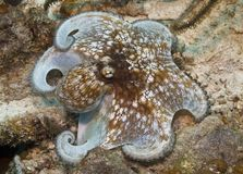 Caribbean Octopus. Moving along the floor of the coral reef Royalty Free Stock Photography