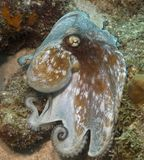 Caribbean Octopus Stock Photos