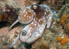 Caribbean Octopus stock images
