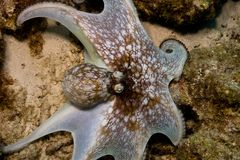 Caribbean Octopus Royalty Free Stock Images