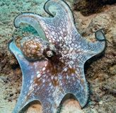 Caribbean Octopus. Moving along the floor of the coral reef Royalty Free Stock Photos