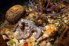 Caribbean Octopus Royalty Free Stock Photography