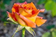 Caribbean Orange Rose Flower Profile. Caribbean orange Rose flower in sunlight, blurred background royalty free stock images