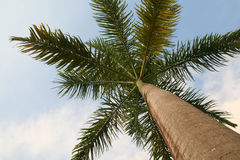 Caribbean Palm Tree Royalty Free Stock Image