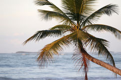 Caribbean palm tree Royalty Free Stock Photo