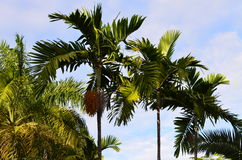 Caribbean palm trees. A couple of caribbean coconuts palm trees on a sunny day Stock Images