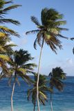 Caribbean Palm trees in the wind Royalty Free Stock Photography